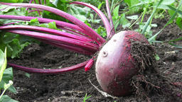 Ripe red beetroot laying on the ground. Beetroot in a vegetable garden Filmmaterial