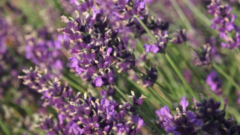 Purple lavender flowers in the field Footage