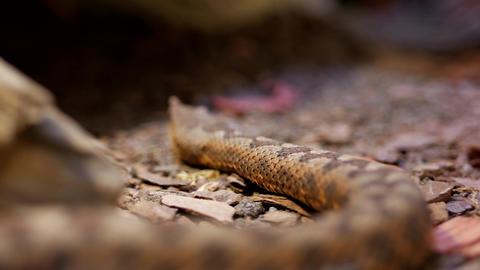 Brown snake creeps Footage