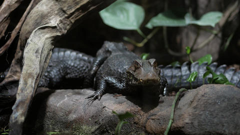 Two caimans, soft focus Footage