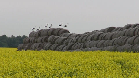Group white storks on old straw stack Live Action