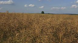 Dried matured rape in the field. Field of ripe rape Live Action