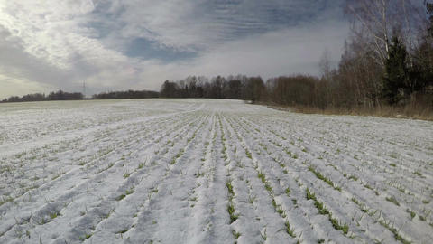 Wheat field in winter end and green sprouts in snow, time lapse 4 K Footage