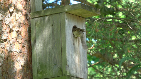 Eurasian wryneck Jynx torquilla feeding juvenile in nesting box Footage