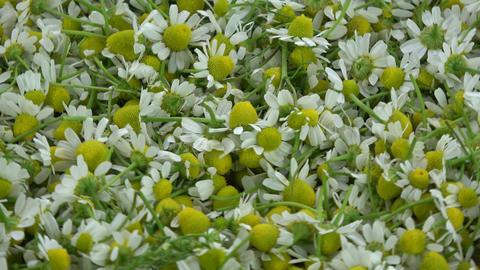 Rotating fresh medical chamomile flowers background Footage