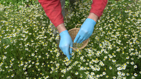 herbalist with blue protective glove picking fresh medical chamomile flowers Footage