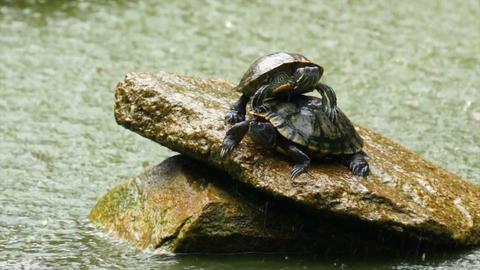 Turtles Stock Video Footage