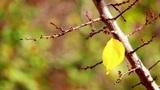 Autumn leaves 4 Footage