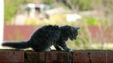 Cat On A Fence 1 stock footage