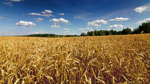 Wheat field time lapse Stock Video Footage