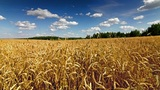 Wheat Field Time Lapse stock footage