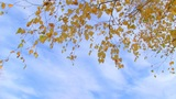 birch branch with yellow leaves Footage