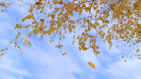 birch branch with yellow leaves Stock Video Footage