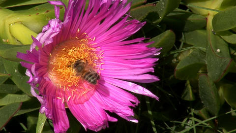 bees in the flower Stock Video Footage
