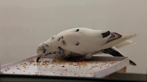 white Dove Stock Video Footage