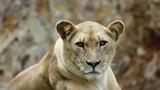Lion 01 Footage