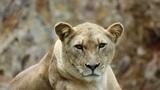 Lion 02 Footage