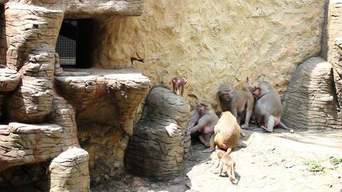 Monkeys 01 Stock Video Footage