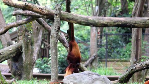 Monkeys 03 Stock Video Footage