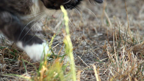 Cat playing with grass Stock Video Footage