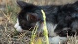 Cat playing with grass Footage