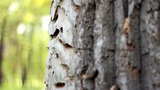 The trunk of the tree with exfoliated bark Footage