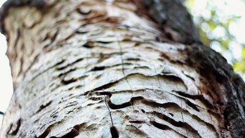 The trunk of the tree with exfoliated bark Stock Video Footage