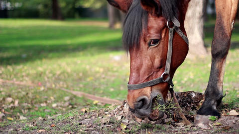 Harnessed horse grazing in the meadow Stock Video Footage