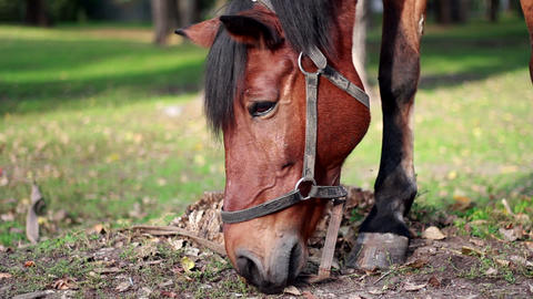 Harnessed horse grazing in the meadow Footage