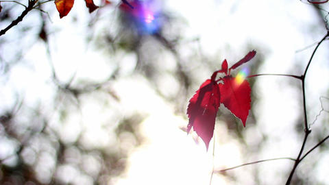 A ray of the sun on the red leaves of the wild grape Stock Video Footage