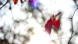A Ray Of The Sun On The Red Leaves Of The Wild Grape stock footage