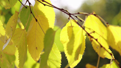 Tree branch with yellow leaves Stock Video Footage