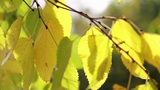 Tree branch with yellow leaves Footage