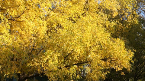 Golden tree (pan up to sky) Stock Video Footage