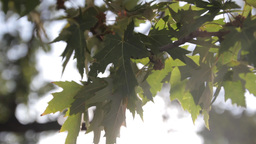 Green leaves on the tree in the sunlight Footage