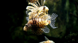 Fish Lionfish Pterois Mombasae stock footage