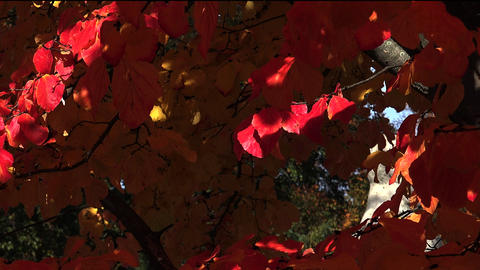 Red leaves of the bird-cherry tree. Autumn Footage
