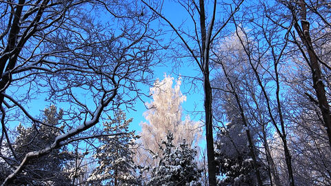 Winter Forest. Trees under snow in the winter forest. Sunny day Footage