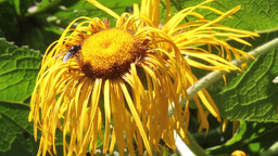 Fly On Flower stock footage