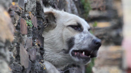 Caucasian sheepdog Footage