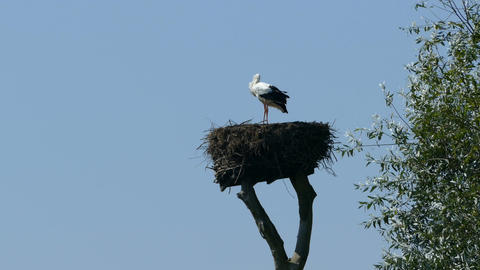 Two storks in a nest on a pole Live Action