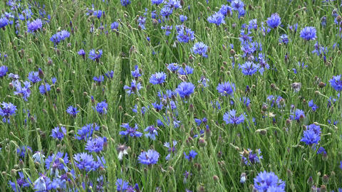 Many blue cornflowers in young wheat field and wind Footage
