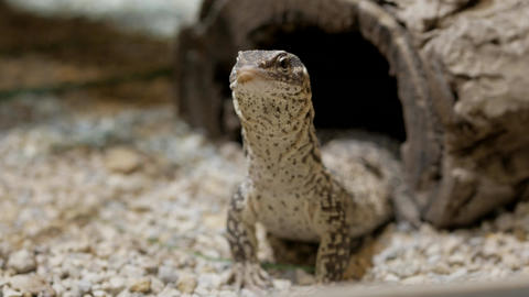Monitor Lizard Footage