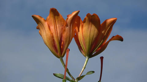 Rotating on blue sky background two orange lilly flowers Footage