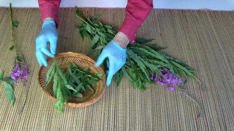 Herbalist picking leaves from medical herb fireweed ivan-tea Epilobium angustifo Live Action