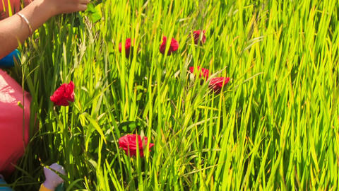 Young Beautiful Lady Sits in Green Grass with Red Flowers Footage