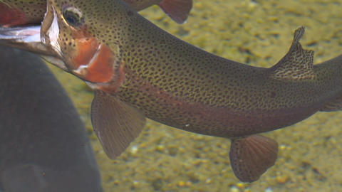 A rainbow trout threatening another Stock Video Footage