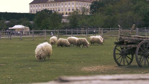 Sheep breed racka eating grass Footage