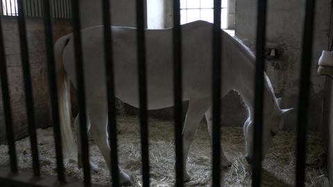 White horse eating hay at the stall through the metal fence view Footage