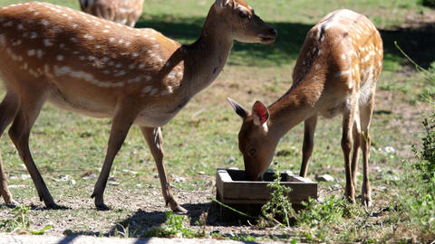 Motion of deer eating food in the zoo with 4k resolution Footage